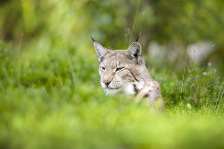 wildanimal: Beautiful and proud lynx lies in a green meadow a summer day. Stock Photo