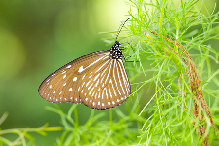 Beautiful tropical butterfly at a green plant in Malaysia, Asia.