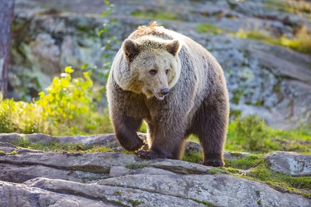 kodiak: Large brown bear in the sunset in the woods. This bear is called ursus arctos.