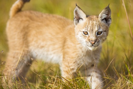 hunter playful: Beautiful and cute lynx cub plays in a green meadow a summer day.