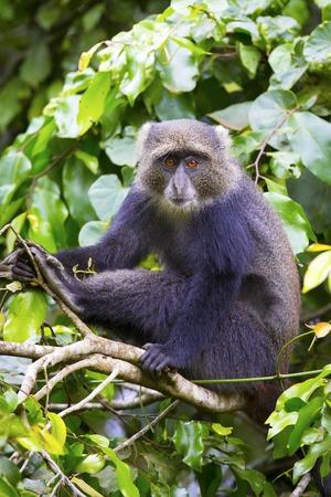 animales de la selva: Mono azul o mono sykes sentado en un árbol en Arusha, Tanzania. Mono africano.