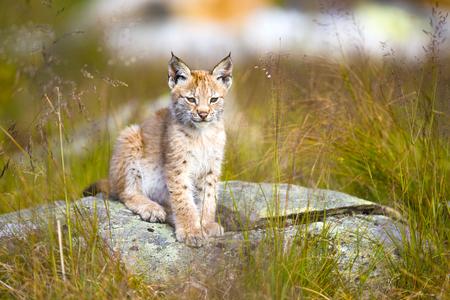 wildanimal: Beautiful and cute lynx cub sitting in a green grass meadow a summer day.