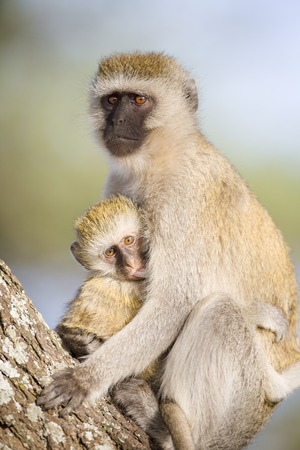 enemies: Female vervet monkey, Chlorocebus pygerythrus, looking for enemies and holds infant tight to her body in Tanzania, Africa. Mother takes care of her baby.