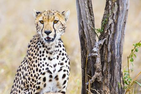 enemies: African cheetah looking for enemies or prey and rests at the Serengeti savannah, Tanzania.