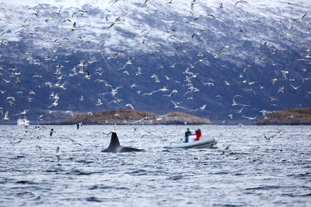 artic circle: People looking at killer whales in a safari boat in the arctic. Seagulls flying around the boat with motion blur. Stock Photo