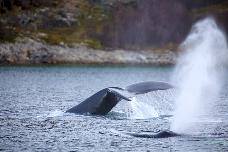 artic circle: Two large humpback whales in the arctic. Shows tail fin and a fountain of steam when the whale breathes out.