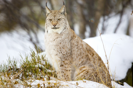 sits: A european lynx cat sits in the snow. Scandinavian early winter forests. Stock Photo