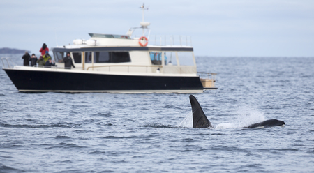 artic circle: People taking photos of killer whales in a safari boat in the arctic. Stock Photo