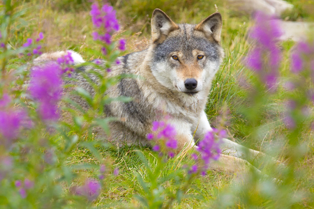 hot day: Beautiful and tired wolf rests in a grass meadow with flowers a hot summer day.