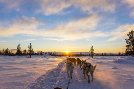 Musher and passenger in a dog sleigh with huskies a cold winter evening. Banque d'images