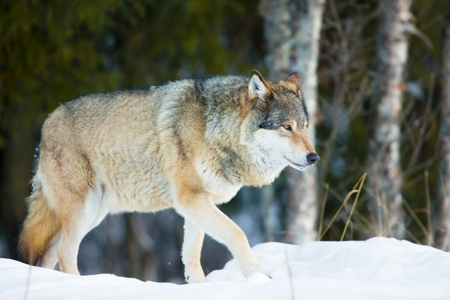 looking after: One wolf walking and looking after pray in the woods a cold day in the winter. Stock Photo