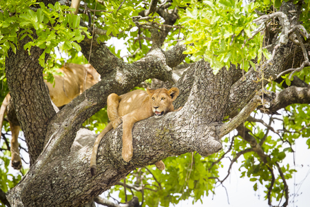 African lions sleeping in a tree a hot day in Serengeti, Tanzania. Photography taken just a short distance away from a wild lion pride.