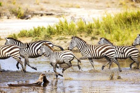세렝게티, 탄자니아, 아프리카에서 아프리카 얼룩말 실행됩니다. 물 속에서 함께 실행.