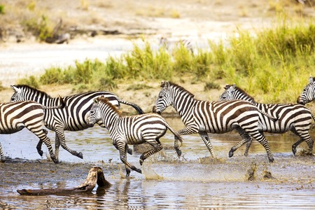 African zebra run in Serengeti Tanzania, Africa. Running together in the water. Фото со стока