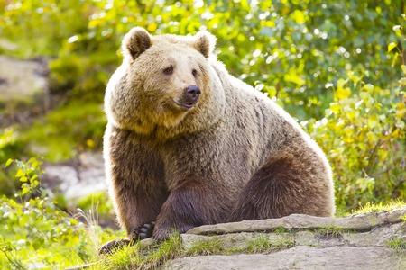 Große braune Bär sitzt in den Sonnenuntergang in der Bergseite. Dieser Bär ist ursus arctos genannt.