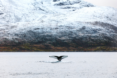 artic circle: Large humpback whales in the arctic. Shows tail fin when diving. Mountain in the background.