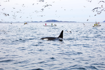artic circle: Tourists looking at killer whales in safari boats in the arctic. Seagulls flying around the boats.