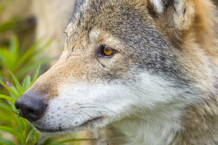 eurasian wolf: Beautiful wolf standing in a meadow in the forest a hot summer day. Stock Photo