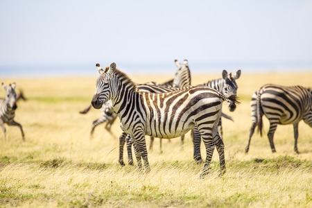 great plains: African zebras at the great plains in Serengeti Tanzania, Africa.
