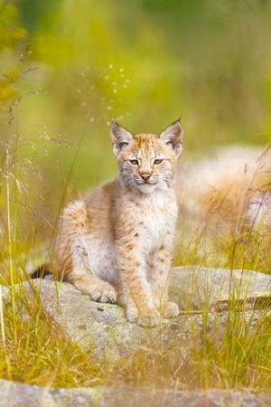 wildanimal: Cute and beautiful lynx cub sitting in a green meadow a summer day.