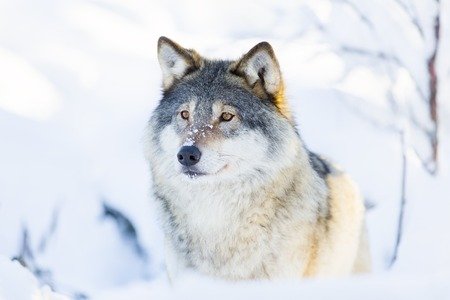 scandinavian peninsula: One wolf standing in the woods a cold winter day. Deep snow on the ground. Stock Photo