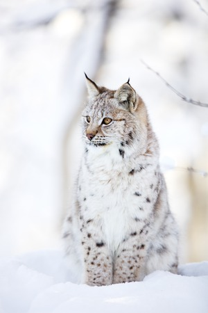 animal in the wild: Close-up of young european lynx cub sitting in the snow. Cold winter in the forests.
