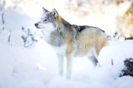 eurasian wolf: One snowy wolf standing in the woods a cold winter day. Snow on the ground and on the trees.
