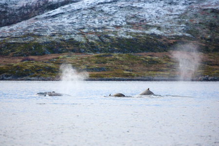 artic circle: Tree large humpback whales in the arctic. Shows fountain of steam when the whale breathes out.