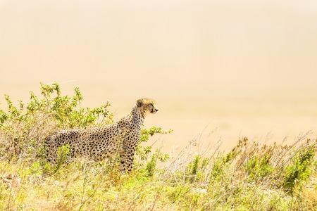 enemies: Cheetah looks for prey and enemies, Serengeti in Tanzania, Africa.