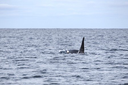artic circle: Orca or killer whale swims in the arctic ocean. Horizon over water. Stock Photo