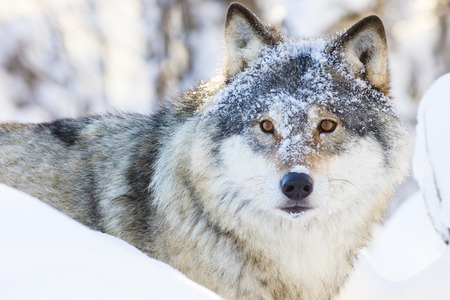 eurasian wolf: One wolf walking in the woods a cold winter day. Snow on the ground and on the trees.