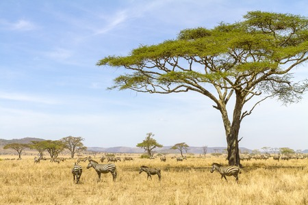 African zebras at the great plains of Serengeti, Tanzania. Group of zebras standing under a tree at the savannah.