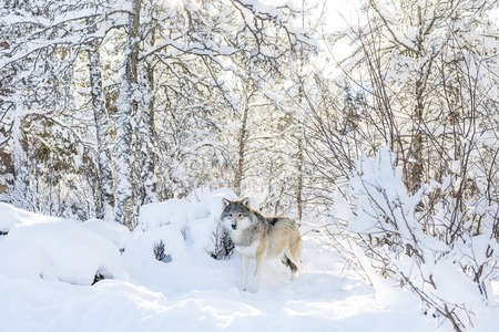 eurasian wolf: One wolf standing in the woods a cold winter day. Snow on the ground and on the trees. Stock Photo