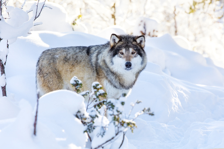 eurasian wolf: One wolf standing in the woods a cold winter day with snow in the face. Snow on the ground and on the trees. Stock Photo
