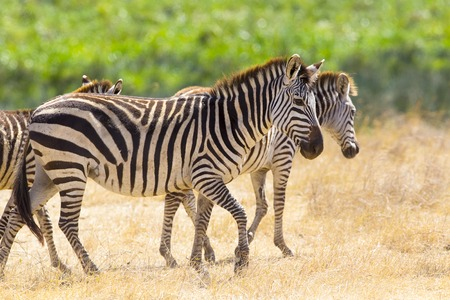 great plains: African zebras at the great plains in Ngorongoro Tanzania, Africa.