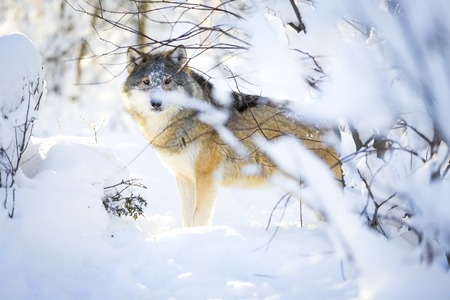 sneaks: One wolf with wild eyes sneaks in the woods a cold winter day. Snow on the ground and on the trees.
