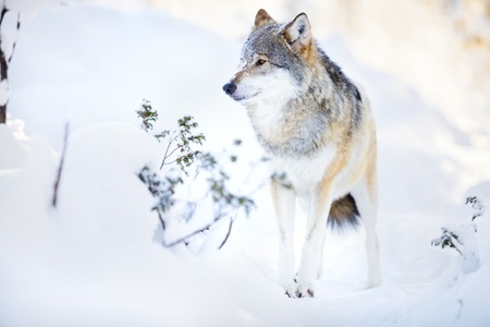 eurasian wolf: One snowy wolf standing in the woods a cold and beautiful winter day. Snow on the nose.
