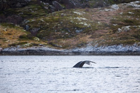 artic circle: One large humpback whales in the arctic. Shows tail fin above water.