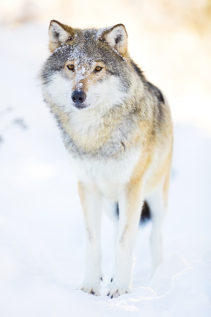 scandinavian peninsula: One wolf standing in the woods a cold winter day. Snow on the ground and on the trees. Stock Photo