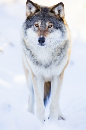 One wolf standing in the woods a cold winter day with snow in the face. Snow on the ground and on the trees.