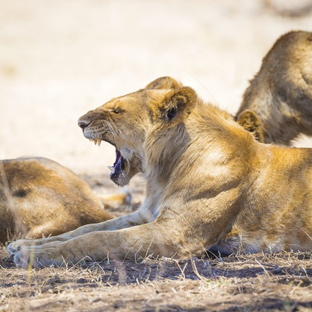 shape cub: Young male lion yawning in Serengeti Tanzania, Africa. Rests at the savannah.