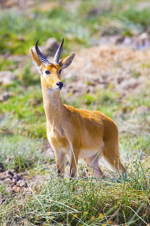 safari game drive: A male impala standing at the savannah of Serengeti, Tanzania in Africa. Wild animal at a safari game drive.