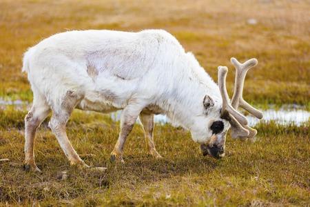 herd deer: Reindeer eating grass and moss at Svalbard. Summer in the arctic environment near Longyearbyen.