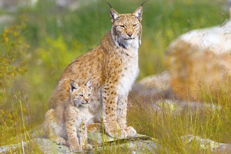 wildanimal: Beautiful young lynx cub and mother sitting in a green meadow in the forest in the summer.