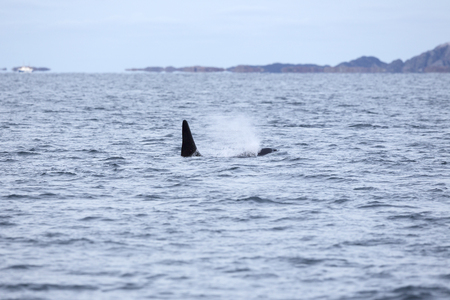 artic circle: Orca or killer whale swims in the arctic ocean. Whale in Norway fjord. Stock Photo