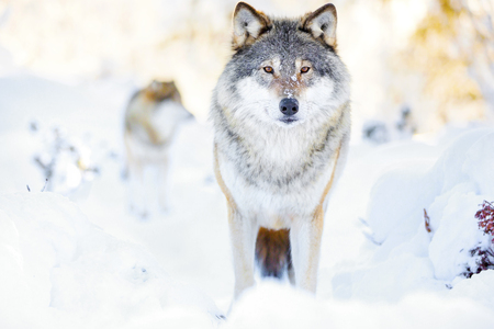 寒い冬の森で狼の群れに 2 つの狼 写真素材
