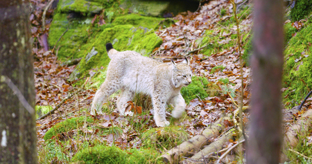 grey cat: European lynx cub walking in the forest