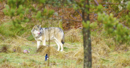 slow motion: One grey wolf stands in the forest and guards a piece of meat