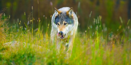 Wild male wolf walking in the grass in the autumn colored forest Stock Photo