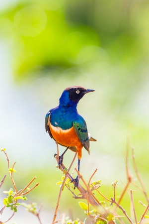 Colorful superb starling bird in Tanzania Africa Stock Photo